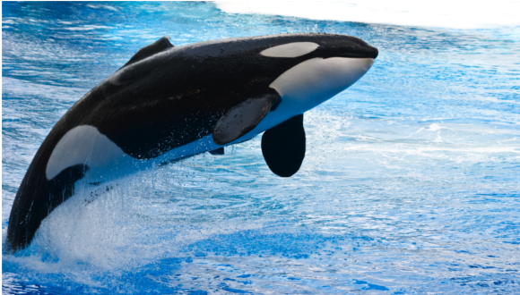Killer Whale of Organisation Learning
